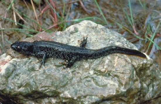 Great Crested Newt, female