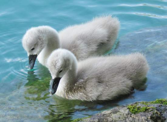 Young cygnets, Slovenia