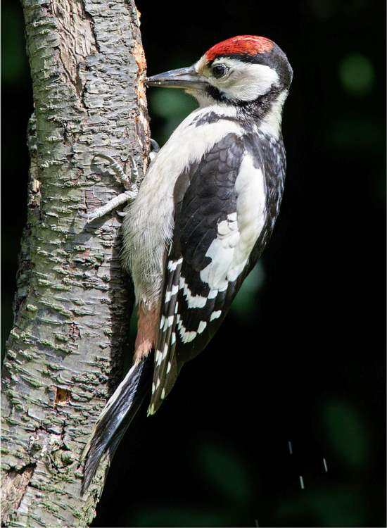 Dendrocopos major, Great Spotted Woodpecker ...