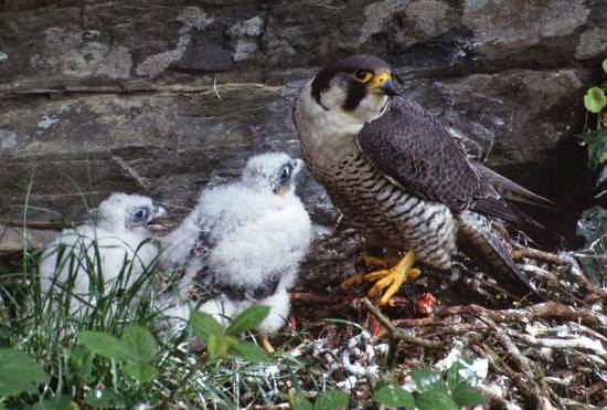 Falco Peregrinus Peregrine Falcon Identification Guide