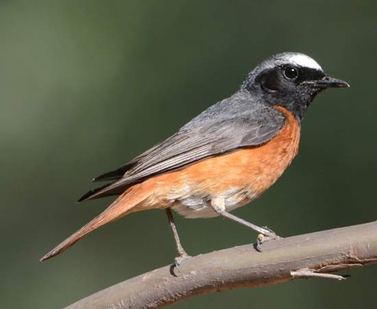 The Common Redstart