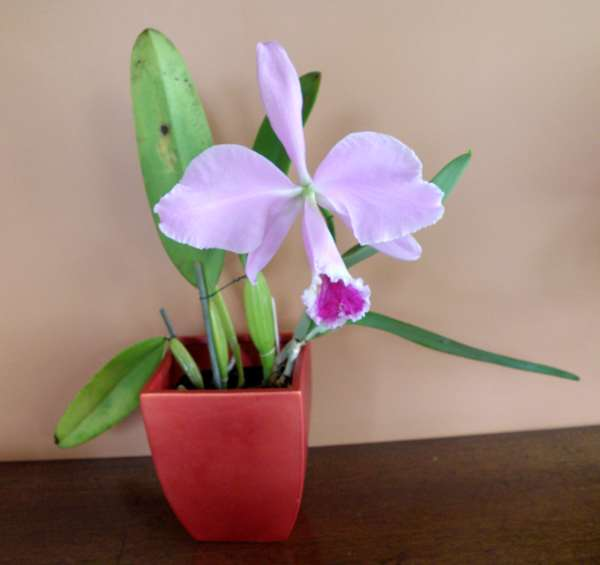 Caring For Cattleya Orchids As House Plants
