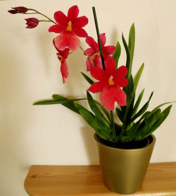 caring for orchids as house plants. Black Bedroom Furniture Sets. Home Design Ideas