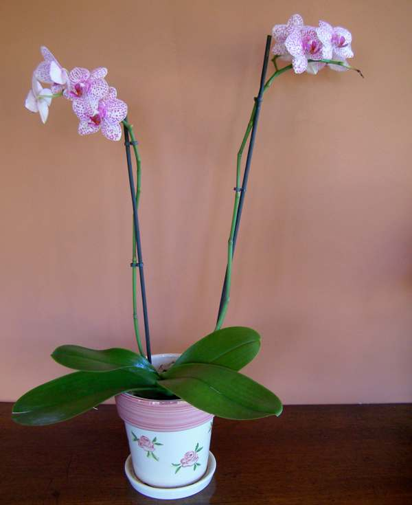 how to look after small orchid plant