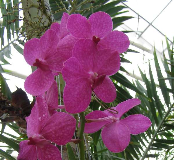 7f27e935d2f607 Caring for Vanda Orchids as House Plants