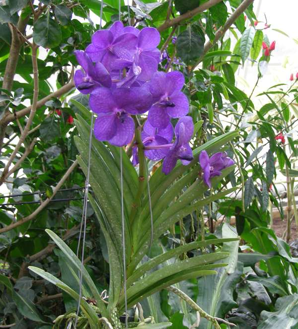 Caring For Vanda Orchids As House Plants