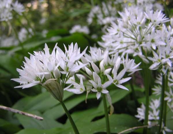 allium ursinum ramsons or wild garlic identification. Black Bedroom Furniture Sets. Home Design Ideas