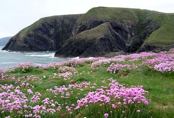 Armeria maritima thrift or sea pink identification distribution thrift on a west wales coastal cliff mightylinksfo