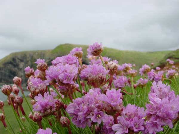 Armeria maritima thrift or sea pink identification distribution sea pinks or thrift closeup of flowers mightylinksfo