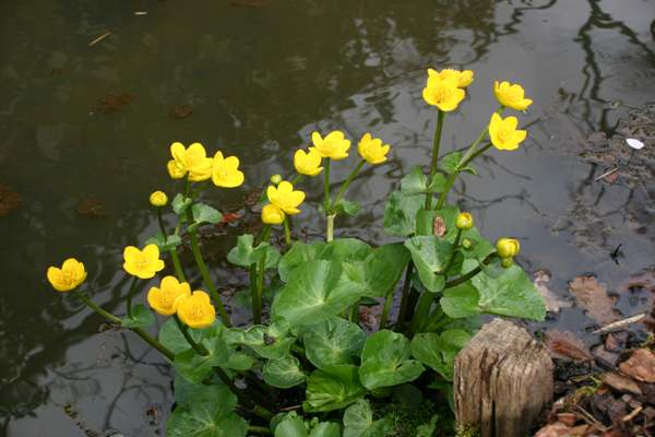 Marsh Marigolds beside a small stream