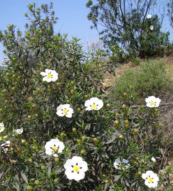 Cistus Ladanifer Gum Cistus Cistaceae