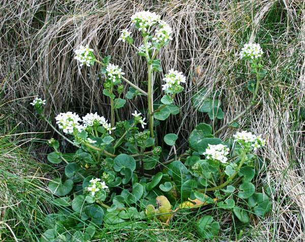 Cochlearia officinalis, Common Scurvy-grass: identification
