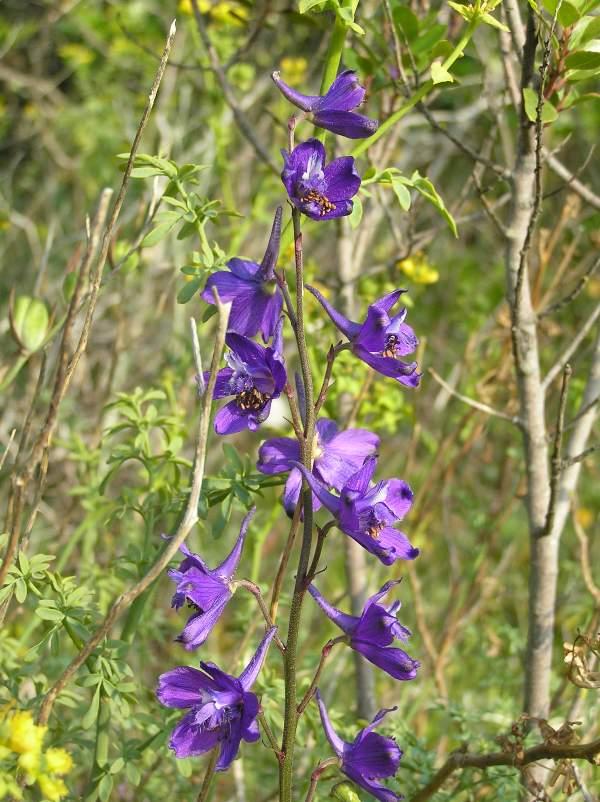 Consolida Ambigua Delphinium Ambiguum Annual Larkspur Wild Larkspur Ranunculaceae
