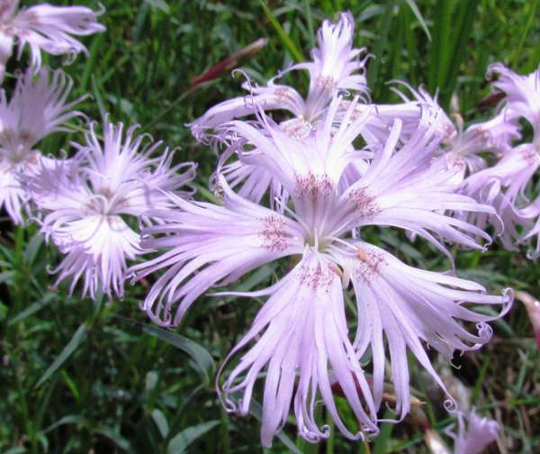 Dianthus superbus, Fringed or Large Pink