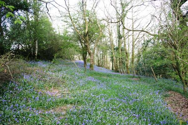 Bluebell woods, west Wales