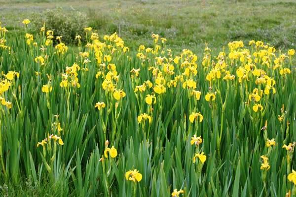 Iris Pseudacorus Yellow Flag Iris