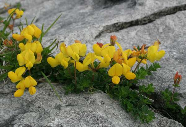 Lotus corniculatus in the Burren, Ireland
