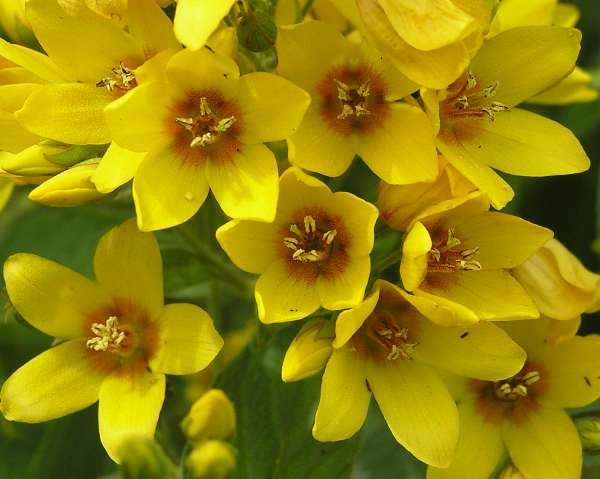Lysimachia vulgaris yellow loosestrife identification yellow loosestrife lysimachia vulgaris closeup of flowers mightylinksfo