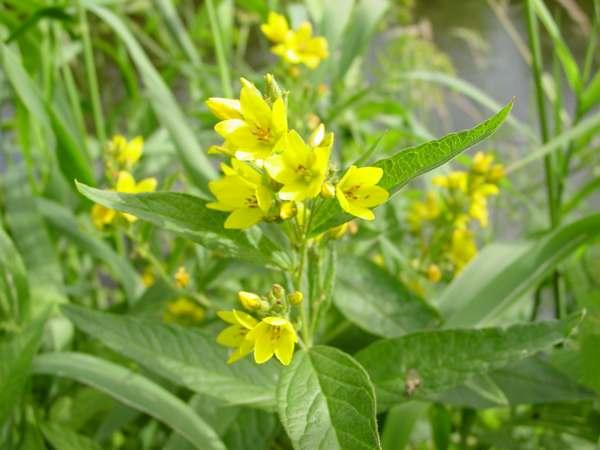 Lysimachia vulgaris yellow loosestrife identification yellow loosestrife and purple loosestrife west wales uk mightylinksfo
