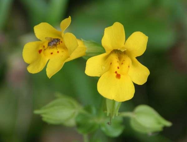 Mimulus guttatus monkey flower a closeup of the pretty yellow flowers of mimulus guttatus mightylinksfo