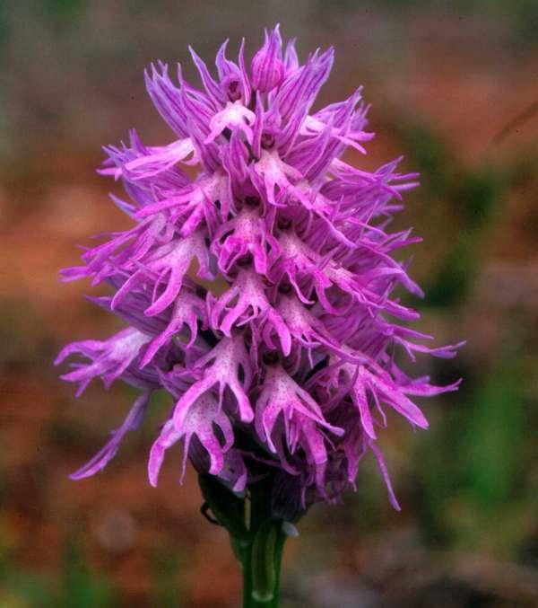 orchis-italica1.jpg