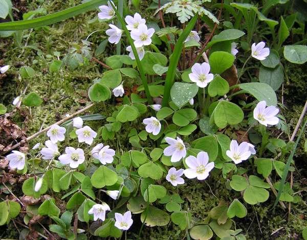 Les Plantes sauvages comestibles et médicinales Oxalis-acetosella1