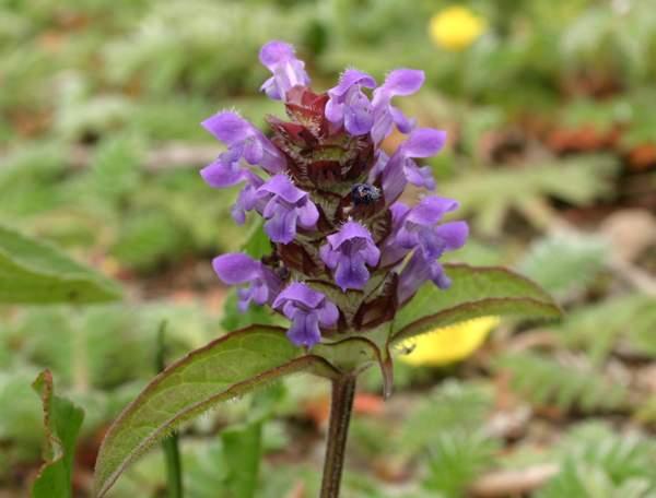Prunella vulgaris, Selfheal: identification, distribution