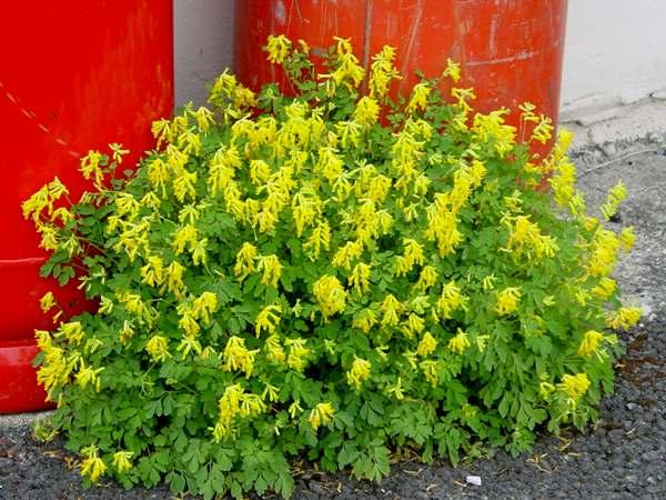 Psuedofumaria Lutea Corydalis Lutea Yellow Corydalis