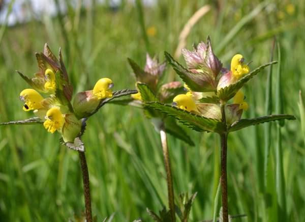 Rhinathus minor yellow rattle identification yellow rattle rhinanthus minor mightylinksfo