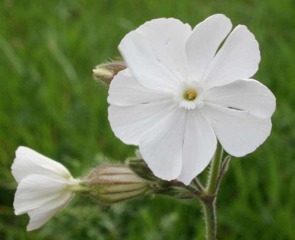 Silene latifolia white campion mightylinksfo