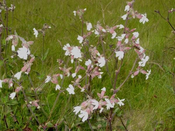 Silene latifolia white campion white campion plants mightylinksfo