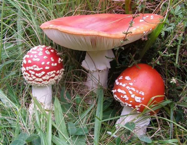 Amanita muscaria, Fly Agaric mushroom