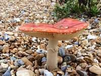 Amanita muscaria en la orilla del mar, Kent
