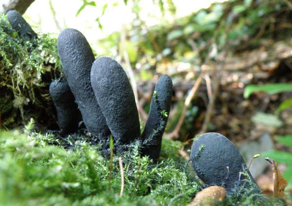 Xylaria polymorpha - Dead Man's Fingers