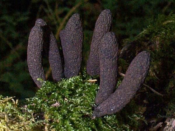 Xylaria polymorpha, Carmarthenshire, Wales UK