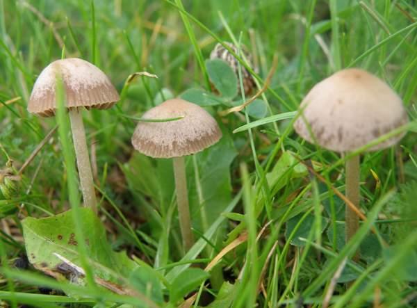 common garden mushrooms uk garden design ideas