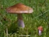 Cortinarius collinitus, Blue-girdled Webcap