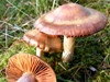 Cortinarius sanguineus - Bloodred Webcap