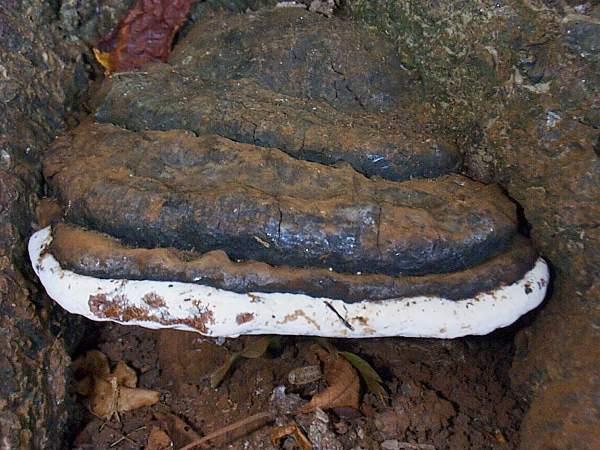 Ganoderma australe (Ganoderma adspersum) Zuidelijke Bracket