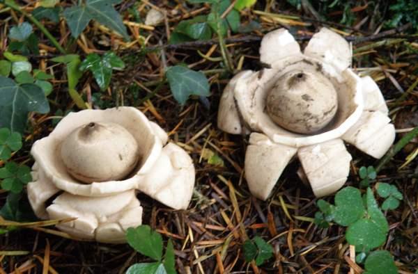 Geastrum triplex, Collared Earthstar fungus