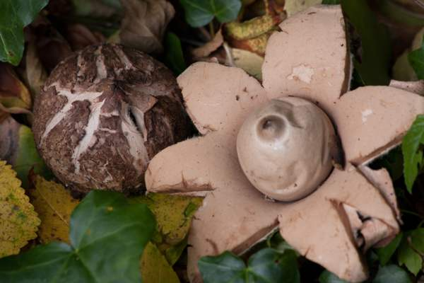 Geastrum triplex, Collared Earthstar - emerging and young fruitbodies