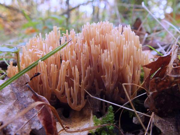 Ramaria Stricta Upright Coral Fungus
