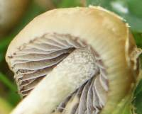 Psilocybe semilanceata, Magic Mushroom, Liberty Cap