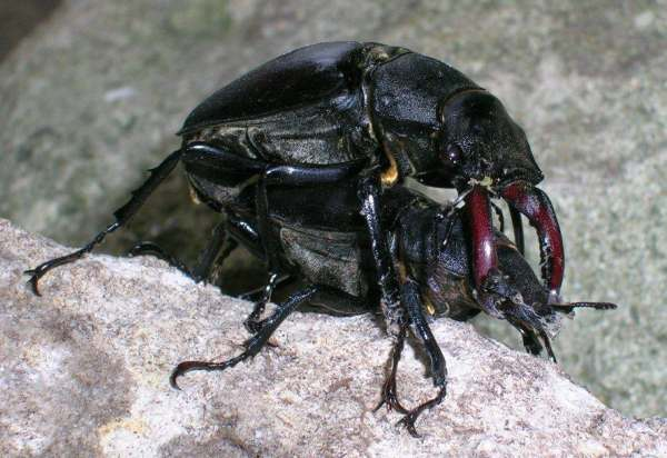 Mating Stag Beetles