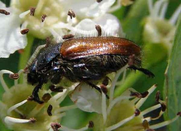 Phyllopertha horticola, Garden Chafer Beetle: identification