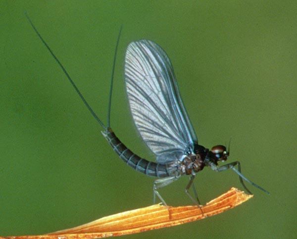 Fliegentom 3 piece Dry Fly-Winged Iron Blue Dun