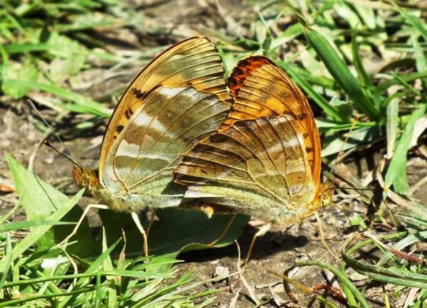 Bộ sưu tập cánh vẩy 5 Argynnis-paphia2
