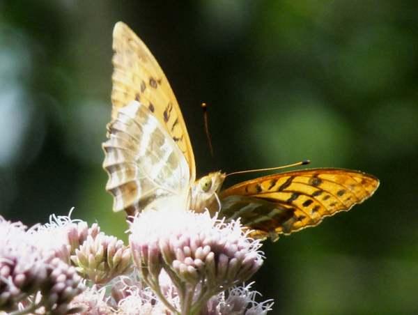 Bộ sưu tập cánh vẩy 5 Argynnis-paphia5