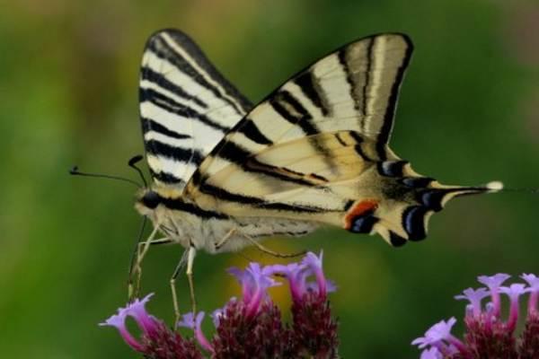 Scarce Swallowtail  Iphiclides Podalirius  Identification