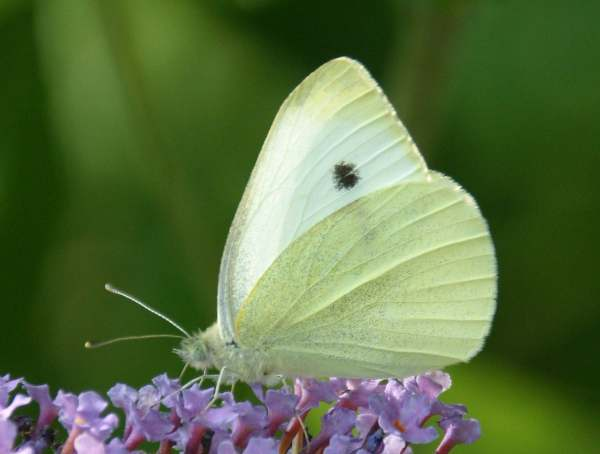 Rapae White Identification Guide Small Butterfly Pieris